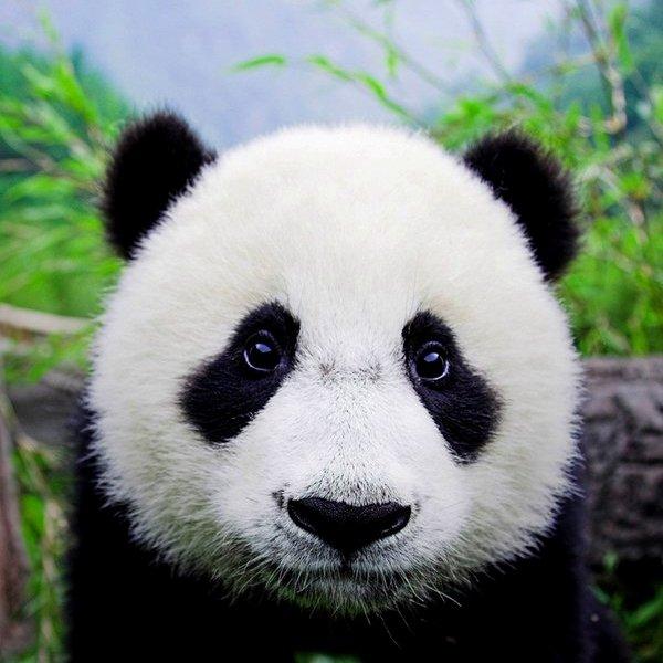 Китай,биология,природа,животные,эволюция, Интересные факты о сильнейших конкурентах «котиков»